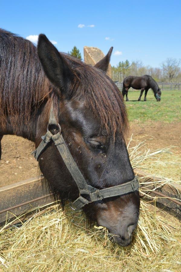 Free Horses Eating Royalty Free Stock Image - 53797996
