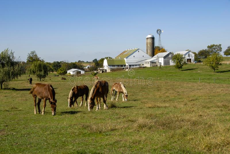 Horses Eating in the Fields of Amish Farms. On a Sunny Day royalty free stock photo