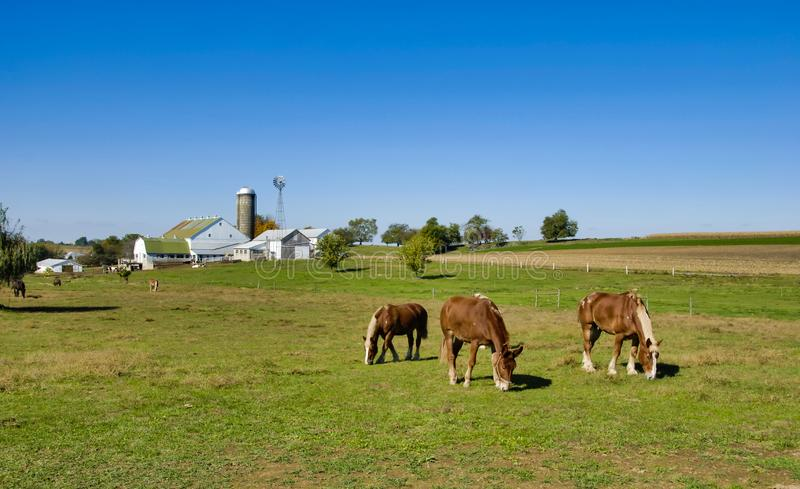 Horses Eating in the Fields of Amish Farms. On a Sunny Day royalty free stock images