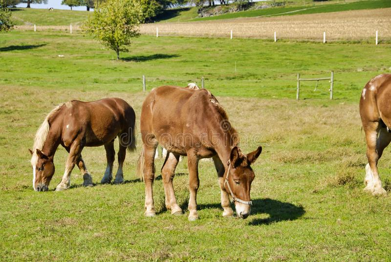 Horses Eating in the Fields of Amish Farms. On a Sunny Day royalty free stock image