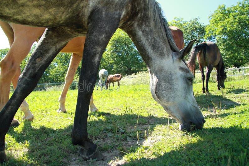 Horses eating grass stock photo