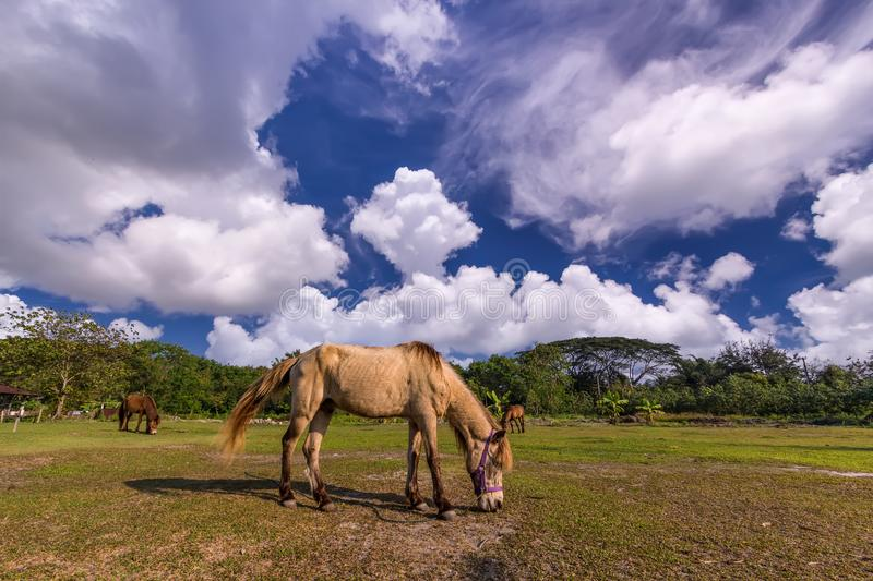 Horses in the field. Horses eating gress in the field royalty free stock photos