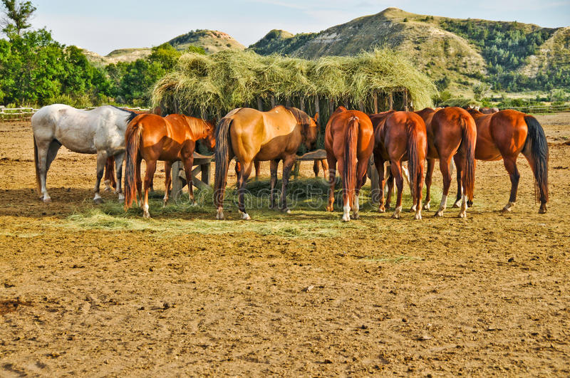 Horses Eating Hay from Feeding Crib. Several horses eating hay from feeding crib in middle of corral in Theodore Roosevelt National Park in Medora, North Dakota stock images
