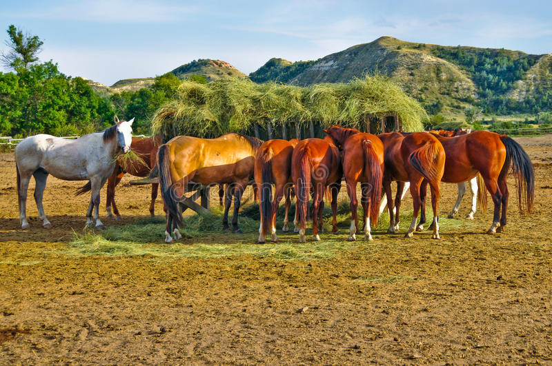 Horses Eating Hay from Feeding Crib in Corral. Group of horses eating hay from feeding crib in middle of a corral. One grey/white horse with hay in its mouth is royalty free stock images