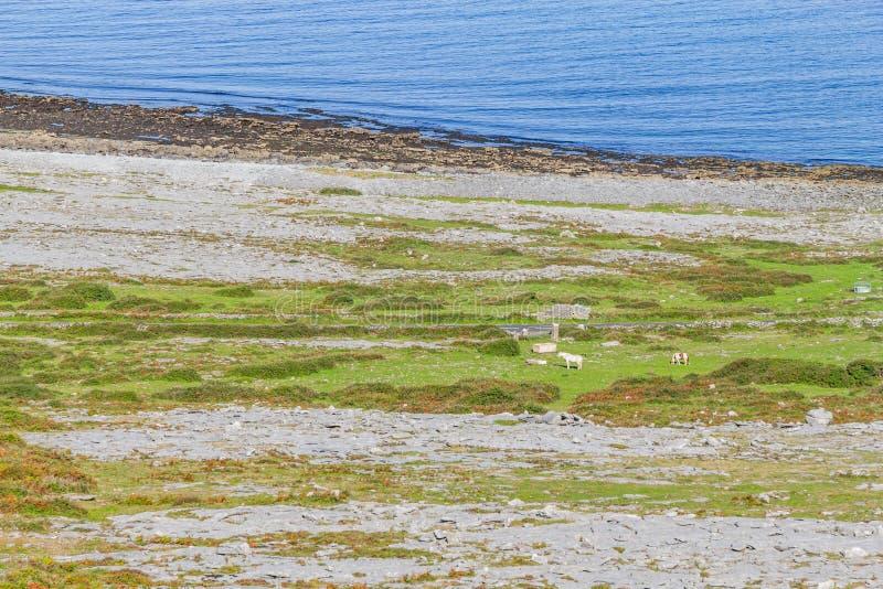 Horses in farm field near Burren mountains in Fanore stock photography