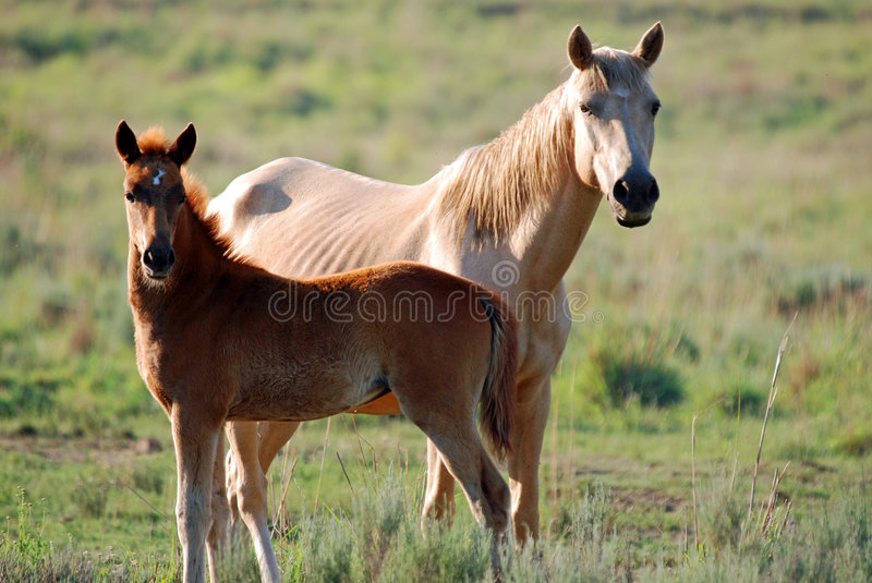 Download Horses in a field stock image. Image of bronco, equestrian - 9280637