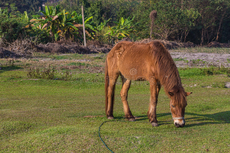Horses in the field. Horses eating gress in the field royalty free stock photo