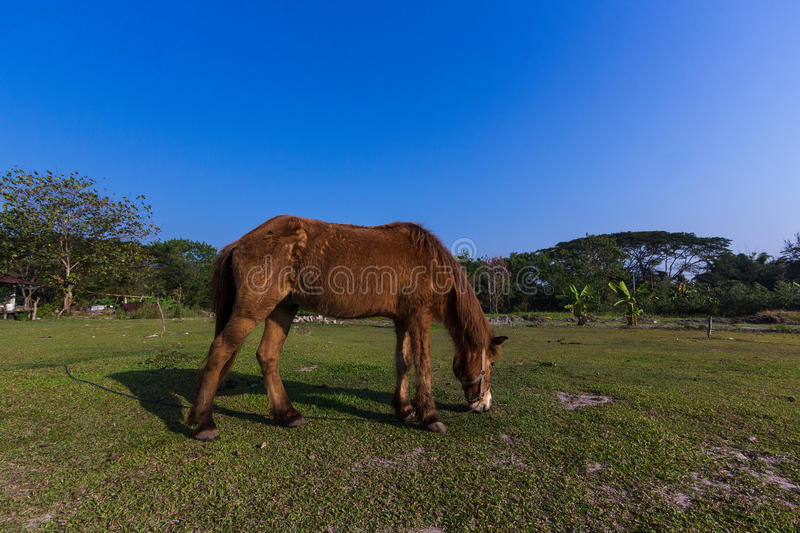 Horses in the field. Horses eating gress in the field stock photography