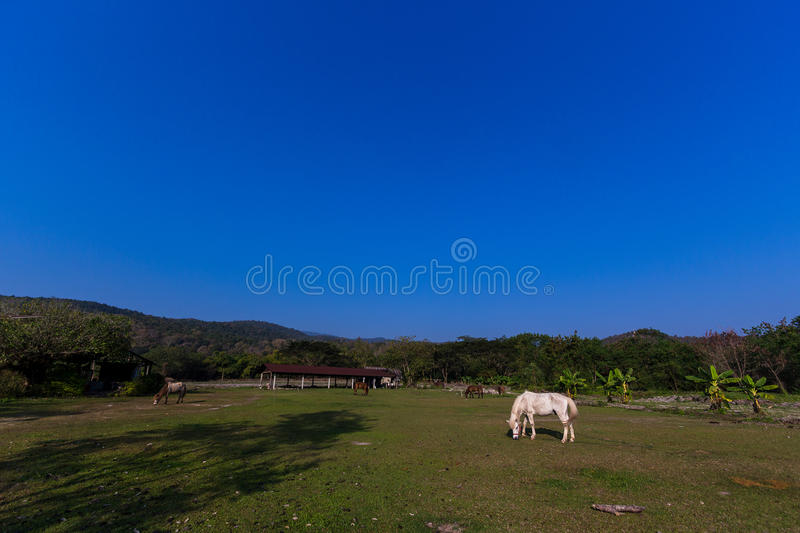 Horses in the field. Horses eating gress in the field stock images