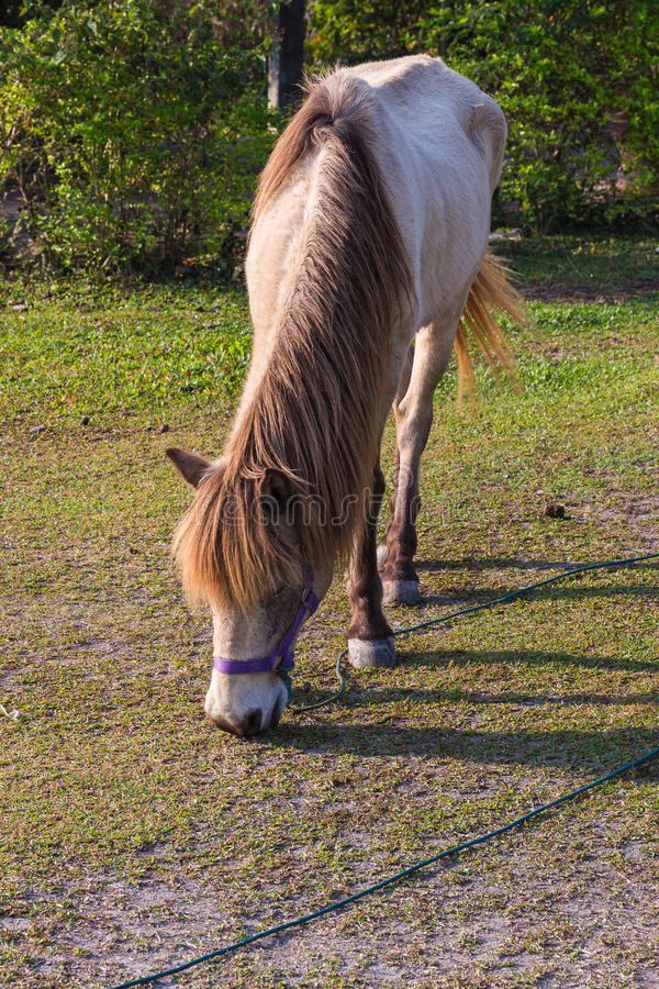 Horses in the field. Horses eating gress in the field stock photos