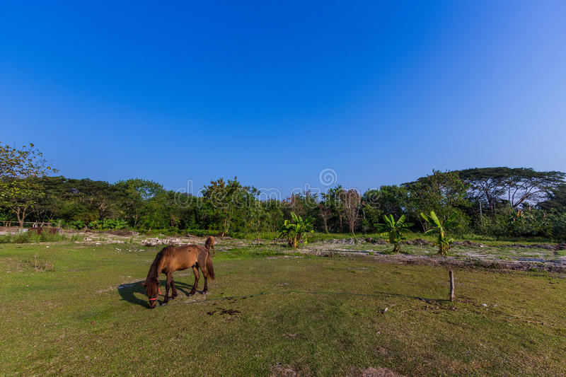 Horses in the field. Horses eating gress in the field royalty free stock photography