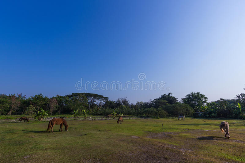 Horses in the field. Horses eating gress in the field royalty free stock images