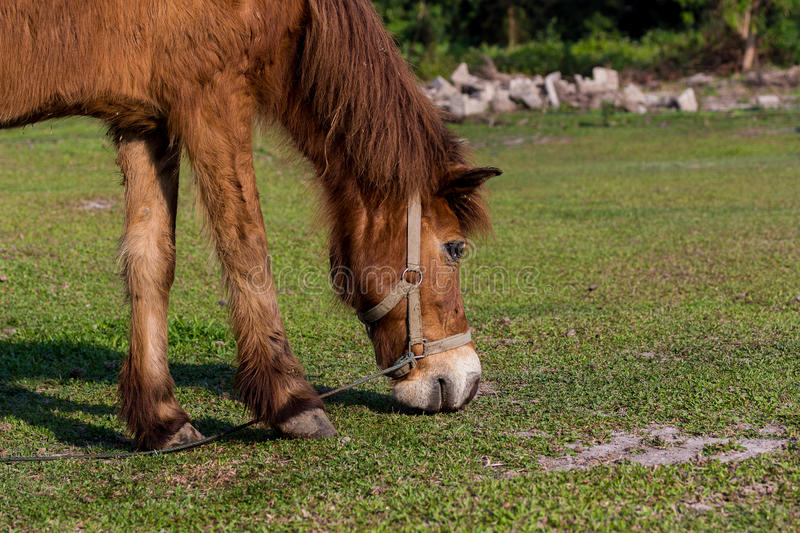 Horses in the field. Horses eating gress in the field stock image
