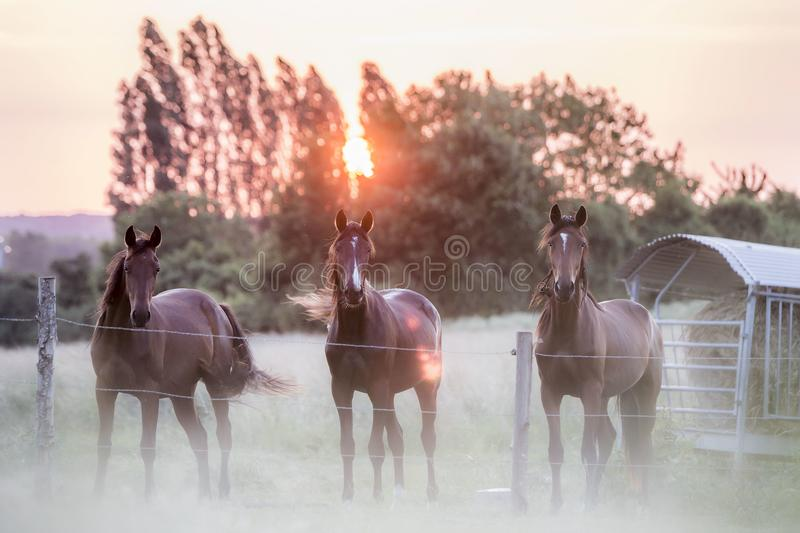 3 Horses in a field, Le Mans, France. Three horses stand in a pasture at sunset near Le Mans, France as the sun sets behind trees in summer, June 2015 royalty free stock images