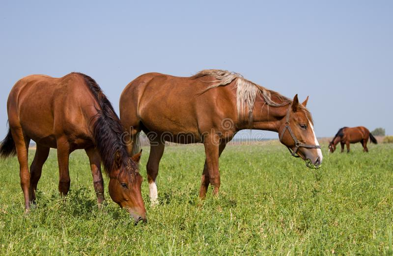Three horses from the free herd to the pasture stock photography