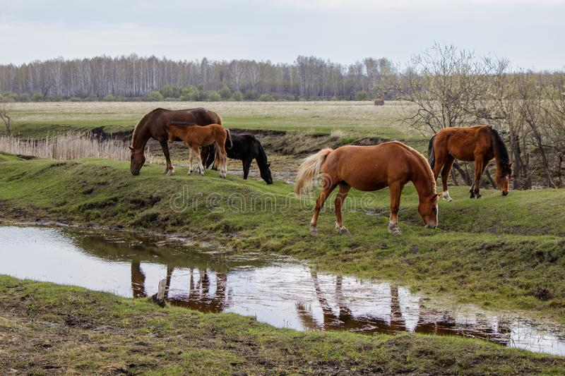 Horses and foal grazing in the pasture. royalty free stock photo