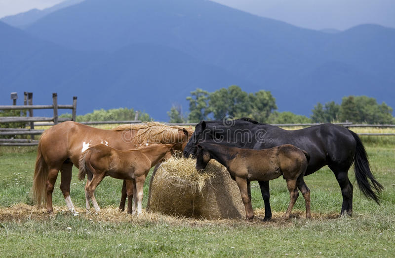 Horses and foals. Horses are feeding on straw royalty free stock photo
