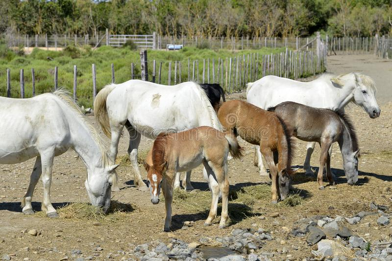 Horses and foals of Camargue royalty free stock images