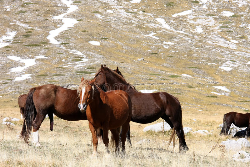 Horses in free nature, Abruzzo, Italy royalty free stock image