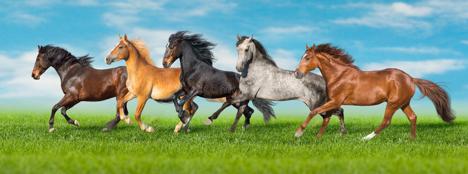 Horses run fast on field. Horses free run gallop i green field with blue sky behind royalty free stock photography