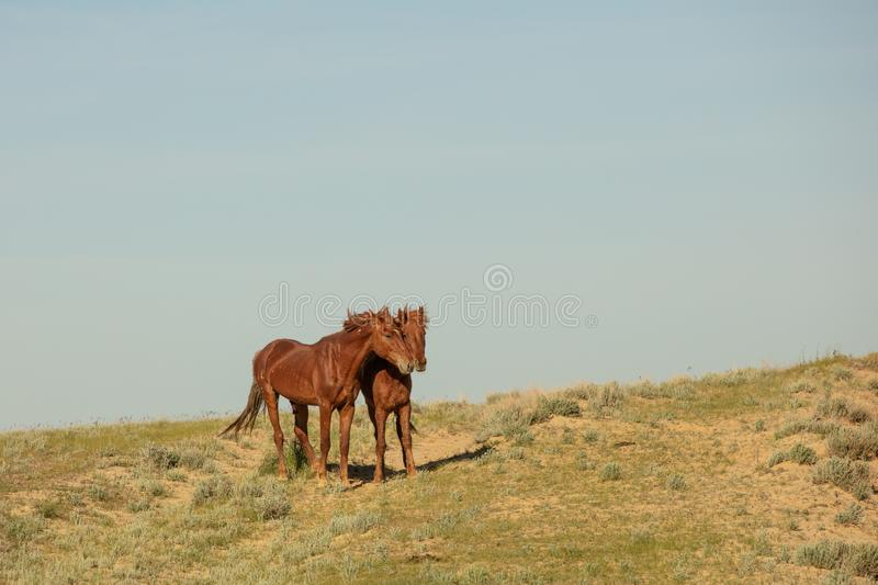 Horses frolic in the open air on a summer day .In the steppes of Kazakhstan royalty free stock photo