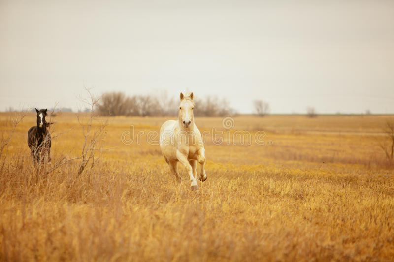 Horses galloping royalty free stock photography