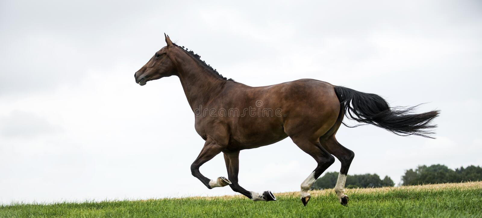 Horses galloping in a field royalty free stock image