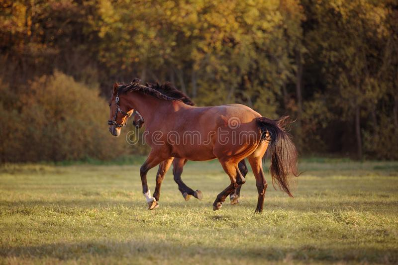 Horses galloping in the green field stock photos