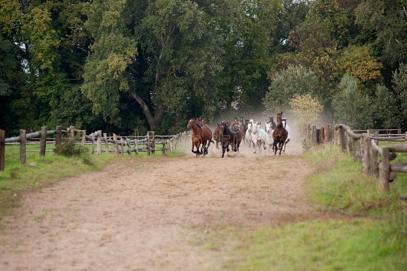 Horses galloping stock photography