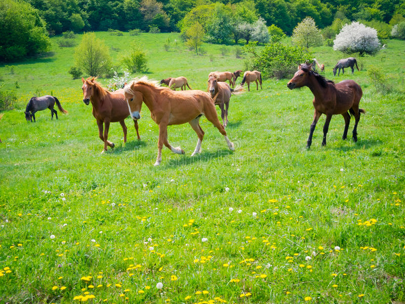 Download Horses galloping stock image. Image of domestic, herd - 35271439