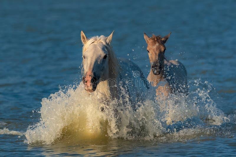 Horses galloping stock photos