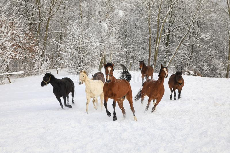 Horses are galloping on snow-covered meadow stock image