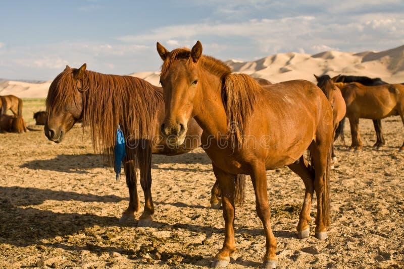 Horses in Gobi Desert, Mongolia. Close up of horses at Khongoryn Els Sand, Dunes in Gobi Desert, Mongolia stock images
