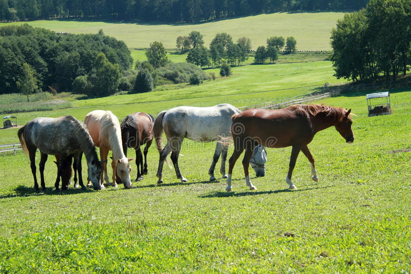 Horses on the grass royalty free stock photo