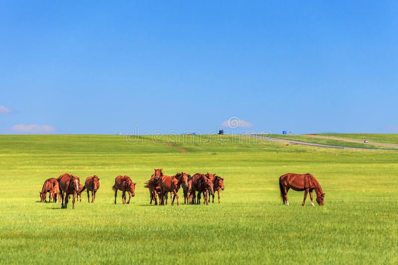 Horses in the Grassland stock photo