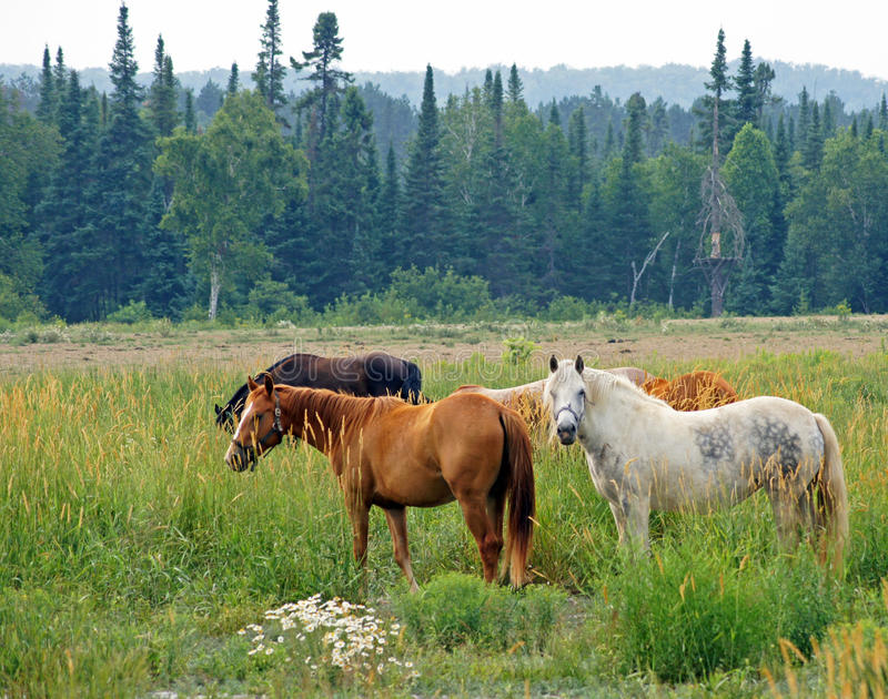 Download Horses graze stock image. Image of black, grass, north - 25807145