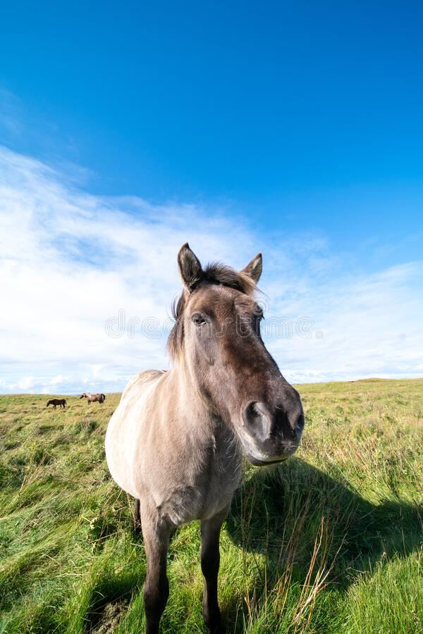 Horses graze on a green meadow in Iceland royalty free stock photos