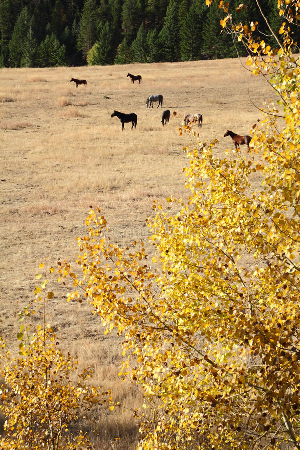 Nicola Valley Horses Grazing, British Columbia. Horses graze on a hillside in the autumn sunshine. Nicola Valley, British Columbia, Canada stock images
