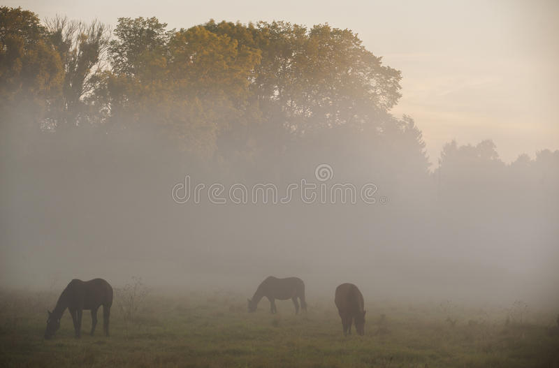 Horses graze in the morning mist royalty free stock photo