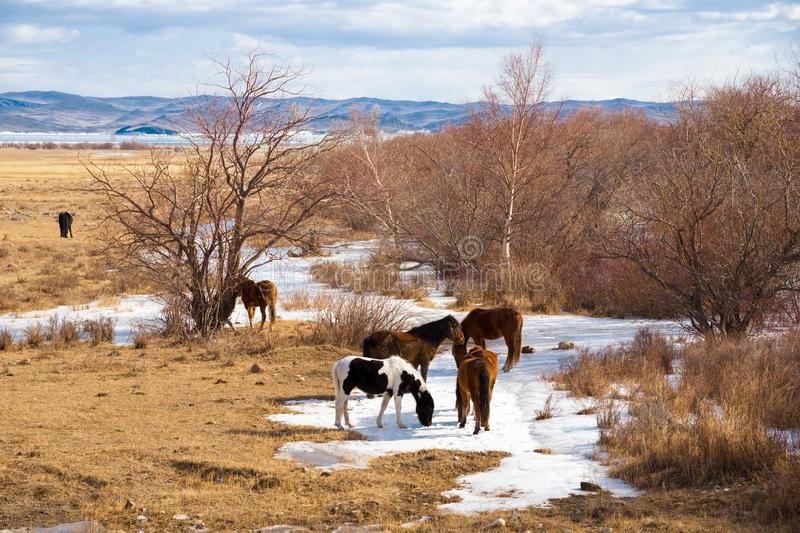 Horses graze near Lake Baikal in the Sarma area in the spring. In the background is Olkhon Island. Siberia, Russia royalty free stock images