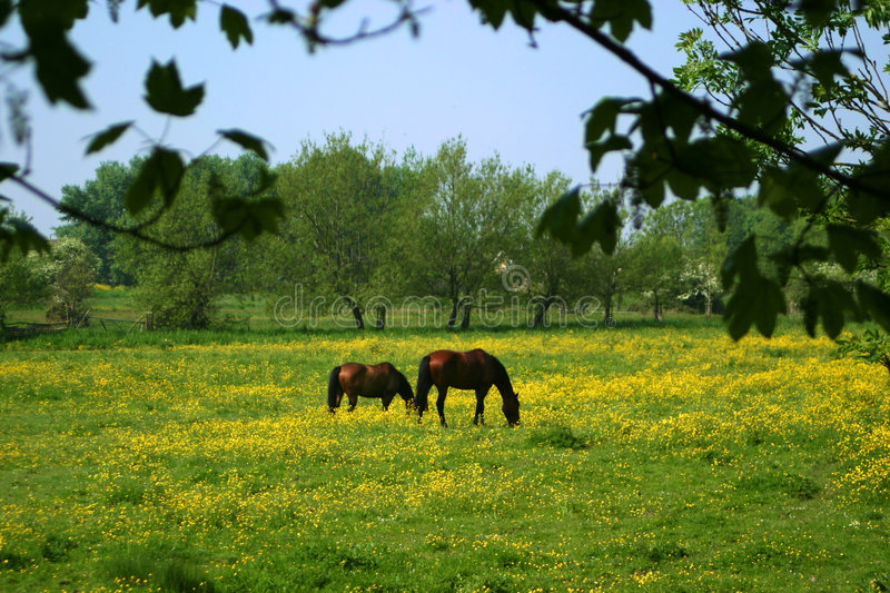 Horses grazing. Horses graze in a field full of Buttercups