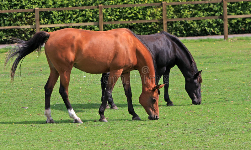 Download Horses grazing stock photo. Image of couple, animals - 10862230