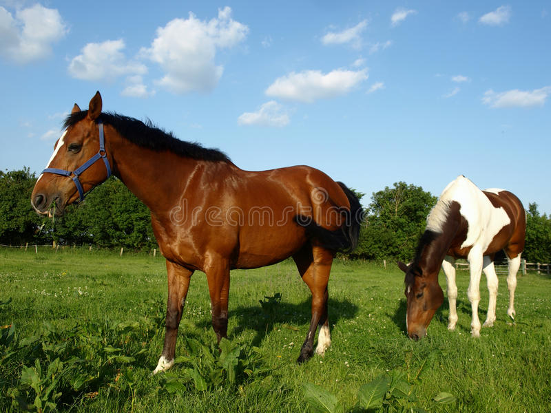 Download Horses Grazing stock image. Image of beautiful, pasture - 13713269