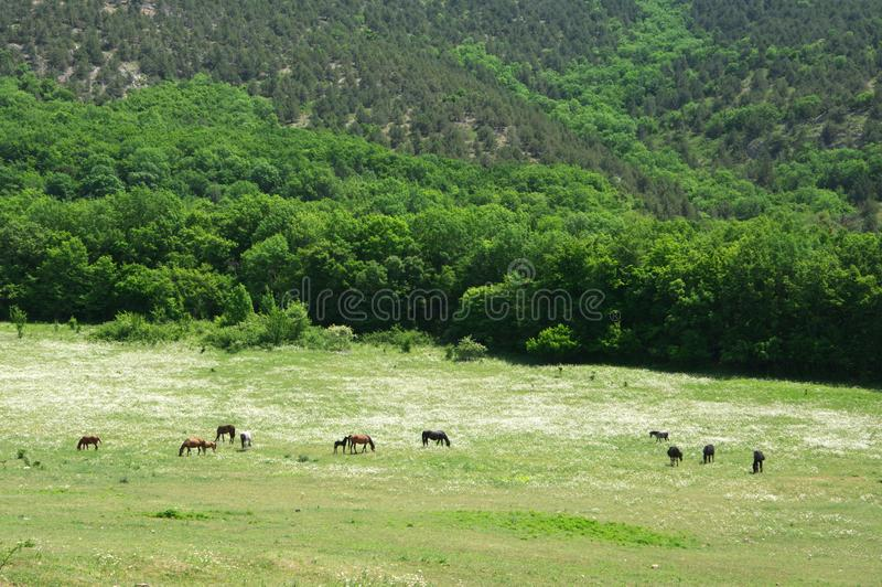 Horses grazing in blooming meadow stock images