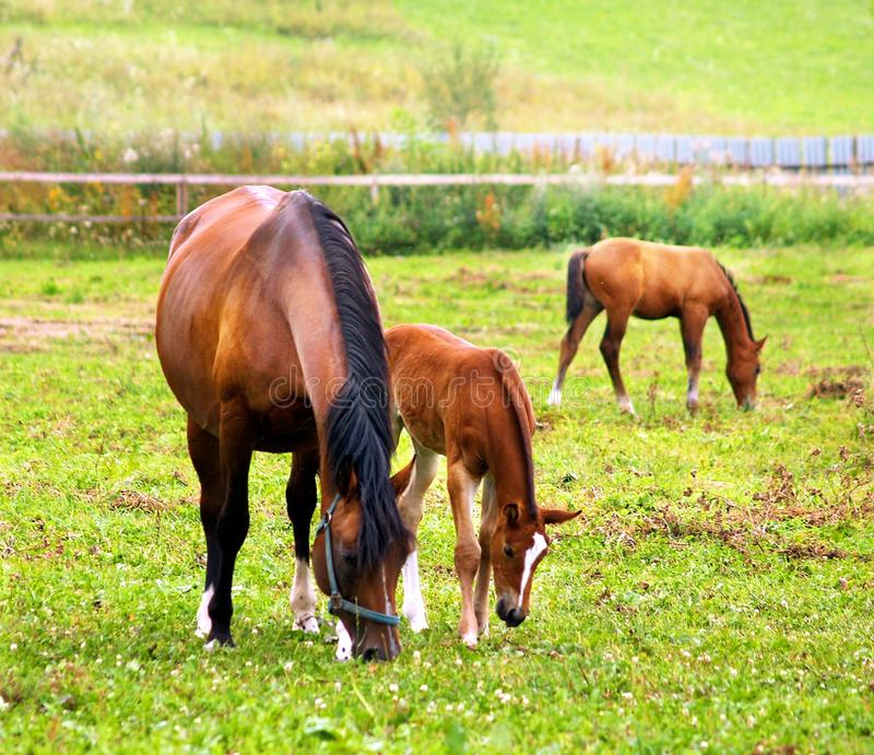 Horses grazing on the field. royalty free stock photography