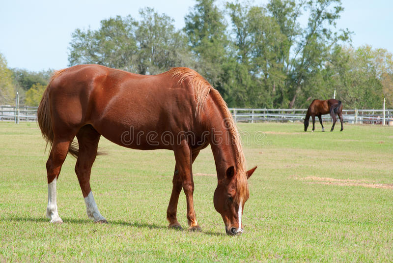Download Horses grazing in a field stock photo. Image of fence - 23558806