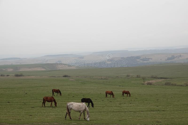Grazing Horses In The Steppe. Stock Photo