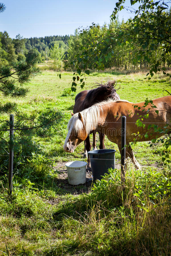 Horses grazing on field in summer day, much greenery, in Finland. Country stock photography