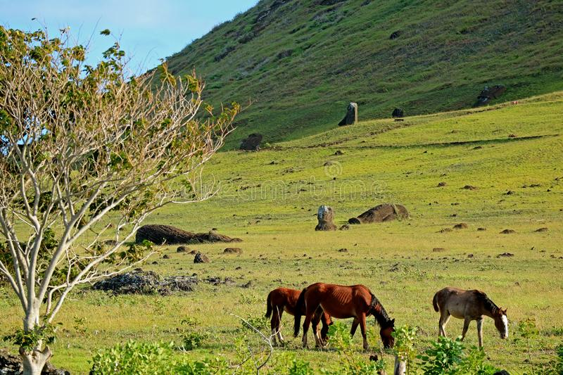 The horses grazing at the foothill of Rano Raraku volcano, the Moai quarry on Easter Island, Chile, South America. Beauty in Nature royalty free stock image