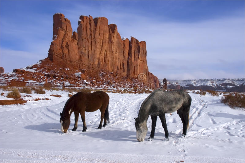 Horses Grazing and Foraging in the Winter mountain stock images